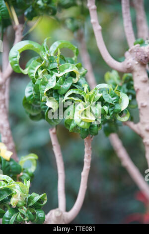 curly green leaf plant volutum ramshorn found in pacific island - Stock Image