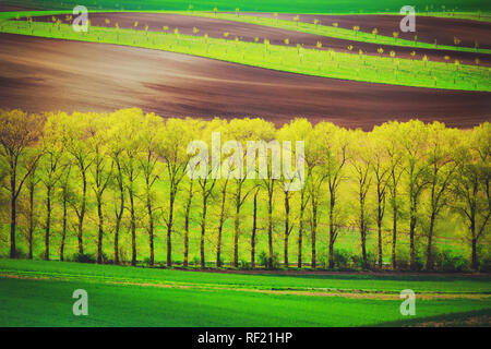 poplet trees alley and sunset lines and waves in the spring - Stock Image