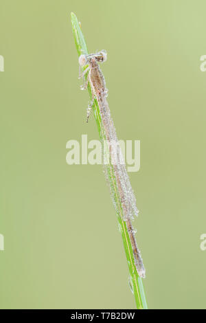 A dew-covered teneral female Citrine Forktail (Ischnura hastata) perches on a blade of grass in the early morning. - Stock Image