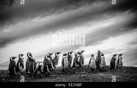 African penguins (Spheniscus demersus) on a rock at Boulders beach, Simon's Town, South Africa. - Stock Image