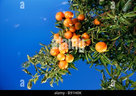 Oranges on tree - Stock Image