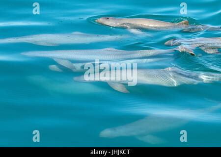 Australian Snubfin Dolphins (Orcaella heinsohni) socializing and mating. This species is a split from the Irrawaddy - Stock Image