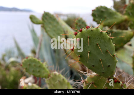 Mediterranean cacti with red cactus fruits. Nature closeup from the island of Ibiza, Spain, Europe. Beautiful spiky plants! - Stock Image