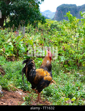 Chicken in the rural scenery of the Vinales Valley, Vinales, Pinar del Rio Province,Cuba, Caribbean - Stock Image