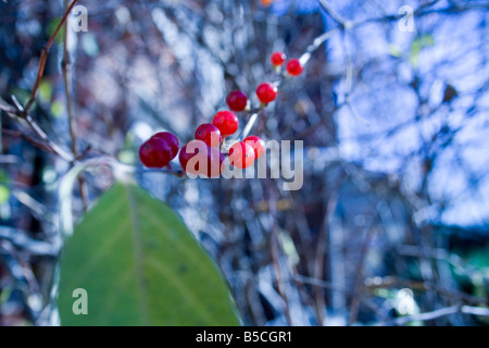 axil berries blade botanical branches bush chlorophyll close flora fruit green leaf macro petiole photosynthesis - Stock Image