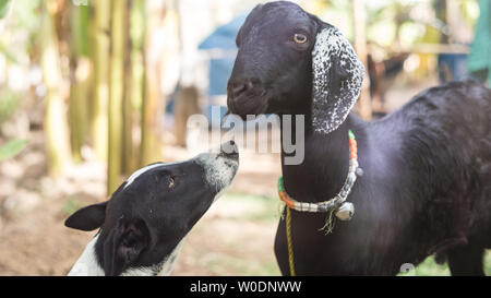 A goat and a dog outside on a summer day - Stock Image