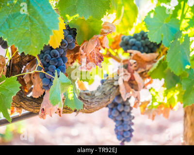 Bunches of red grapes growing in Setubal wine region, Portugal. - Stock Image