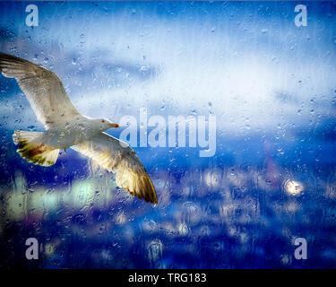 GB - DEVON: Herring Gull in flight above Torquay Harbour - Stock Image