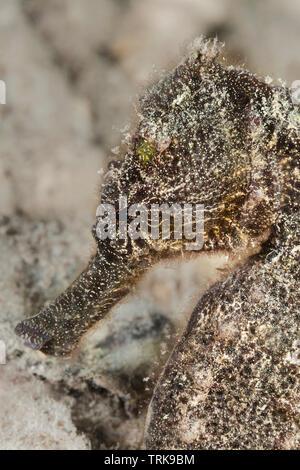 Common Seahorse, Hippocampus taeniopterus, Lissenung, New Ireland, Papua New Guinea - Stock Image