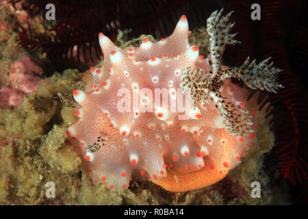 Halgerda Batangas Nudibranch Laying Eggs. Anilao, Philippines - Stock Image