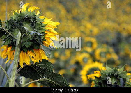 Cropped image of a large field of sunflowers in Italy. The back of one sunflower on the left is the main focus on - Stock Image