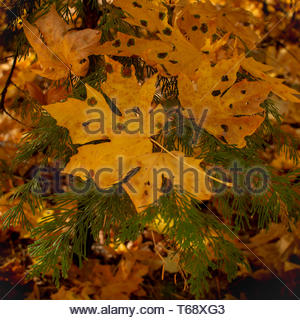 Big yellow Maple, Acer macrophyllum leaves  with leaf spots at Calaveras Big Trees State Park in California, USA- large autumn background and copy spa - Stock Image