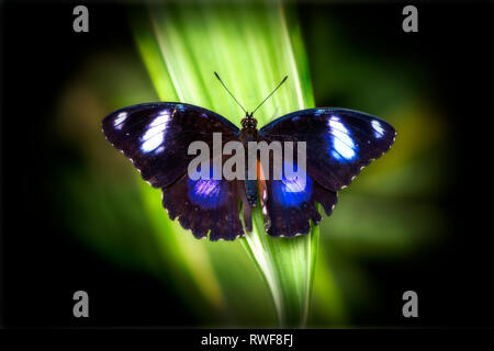 Blue moon butterfly / Great eggfly (Hypolimnas bolina) resting with wings spread, top view - Stock Image