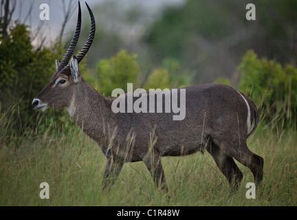 Waterbuck male (Kobus ellipsiprymnus) Saadani Tanzania Africa - Stock Image