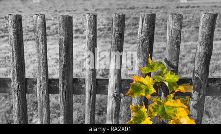 Old black and white fence and colored leaves on common maple branch. Acer. Melancholy landscape with vintage wood railings. Yellow-green autumn leaf. - Stock Image
