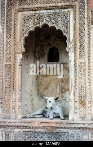 Stray white dog resting in an alcove in exhibit of gateway to a haveli or mansion typical of Rajasthan in the National Crafts Museum, New Delhi, India - Stock Image