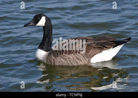 Canada Goose on Tring Reservoir - Stock Image