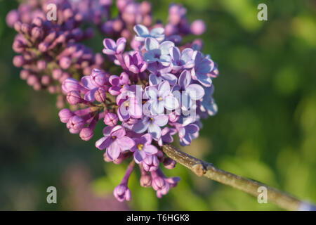 Syringa vulgaris (common lilac) branch, early spring, shallow depth of field - Stock Image