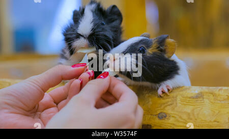 Woman feeding two guinea pigs in zoo - Stock Image