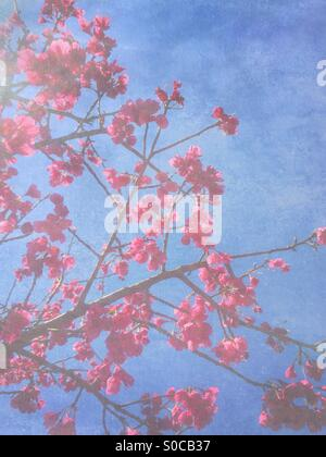Pretty, deep pink sakura or cherry blossoms called Kanhizakura (Cerasus cerasoides) or Hikanzakura, also known as - Stock Image