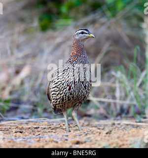 Double spurred francolin, Wechiau Community Hippo Sanctuary, near Wa, Ghana. - Stock Image