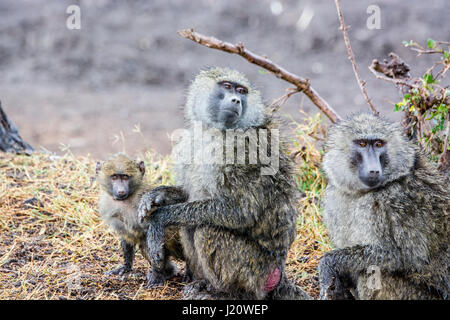 Family of wild Olive Baboons, Papio anubis, with a small baby, Ol Pejeta Conservancy, Kenya, East Africa - Stock Image