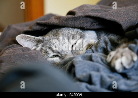 Gray tabby cat dozing in fresh laundry. This is the photographer's cat, named TBone. - Stock Image