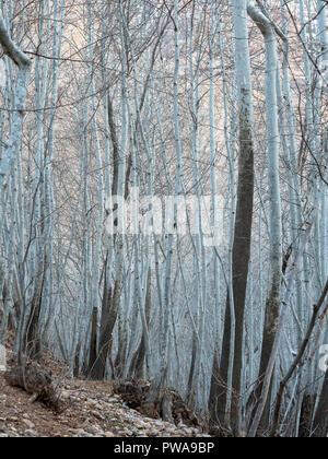 Winter birch forest in Ghalat, Shiraz, Iran - Stock Image
