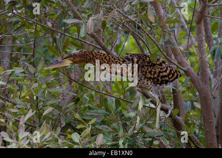 Rufescent Tiger Heron (Tigrisoma lineatum) - Stock Image