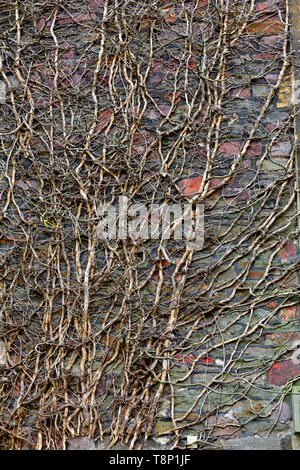 Dead ivy vine growing up stone wall producing pattern - Stock Image