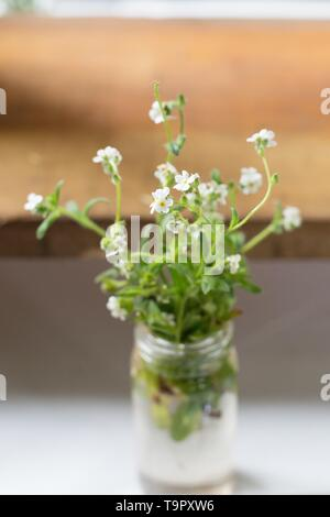 Cryptantha intermedia in a jar at the Wildflower Festival at Mount Pisgah Arboretum in Eugene, Oregon, USA. - Stock Image