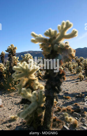 Cholla Cactus Garden in Joshua Tree National Park - Stock Image