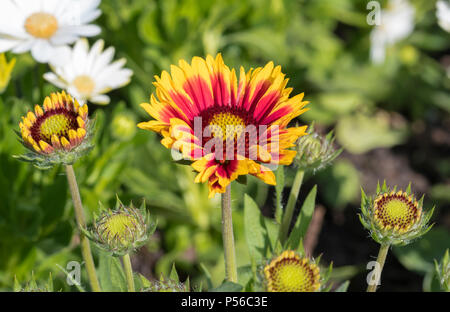 Gaillardia 'Arizona Sun', a blanket flower blooming in Summer in the UK. - Stock Image