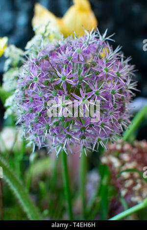 Designer bouquet with big lilac onion flower close up - Stock Image