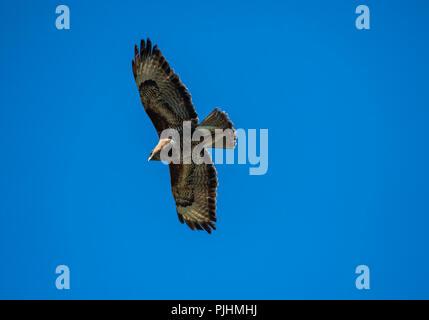 Common buzzard, flying overhead, Alsager, Cheshire, UK - Stock Image