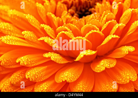 Calendula blossom, captured with morning dew, on the petals. - Stock Image