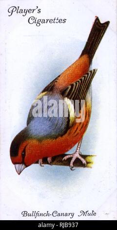 Bullfinch-Canary Mule. - Stock Image