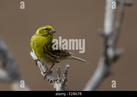 Serin in Andalucia - Stock Image