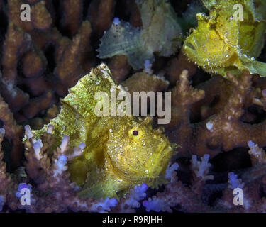 Yellow leaf scorpionfish  (Taenianotus triacanthus) lying in wait camouflaged among the corals. Ambon Bay, Indonesia. - Stock Image