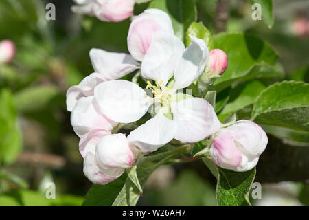 Blossoming apple garden in spring - Stock Image