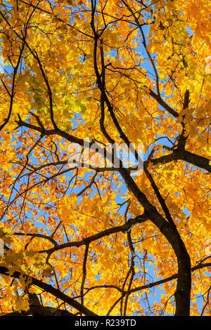 Yellow Autumn Leaves MapleTree, Pennsylvania, USA - Stock Image