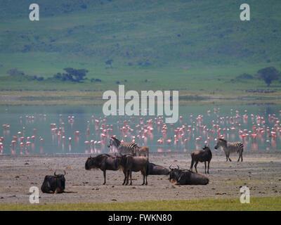 Lesser Flamingos (Phoenicopterus minor), Zebra (Equus quagga) and Wildebeest (Connochaetes taurinus) in Ngorongoro - Stock Image