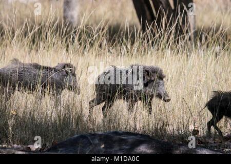 Group of wild Indian Boars, Sus scrofa cristatus, running in Bandhavgarh National Park, Madhya Pradesh, India - Stock Image