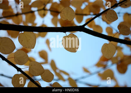 Cercidiphyllum Japonicum, Katsura tree in autumn Jane Ann Butler Photography  JABP1820 - Stock Image