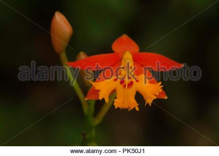 Miniature Wild Orchid From Costa Rica - Stock Image