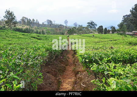 Narrow ground track in the middle of tea plantation - Stock Image