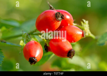 Dog Rose (rosa canina), close up of the fruits or hips produced in autumn. - Stock Image