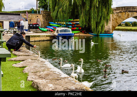 Person feeding swans and ducks on the river bank of the River Thames at Lechlade-on-Thames, Gloucestershire, UK. - Stock Image