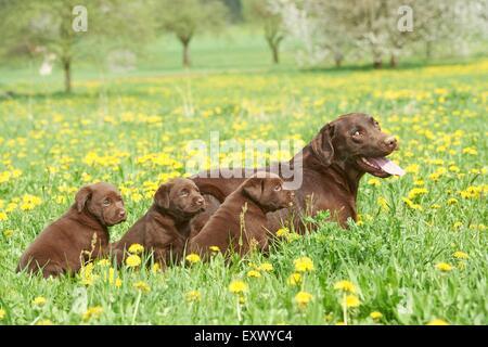 Labrador and puppies, Upper Palatinate, Bavaria, Germany, Europe - Stock Image