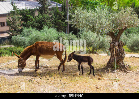 A donkey and its foal grazing ion the dry ground n the Nazareth Village Museum in Israel. this museum provides an authentic look and living insight to - Stock Image